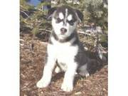 New Years Alaskan Malamutes Puppies