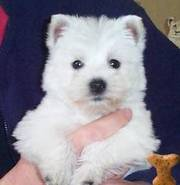 Adorable Westie Puppies!!!!…