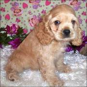 Quality kc buff cocker spaniel puppy for a good home