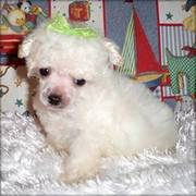 tea cup poodle for sale
